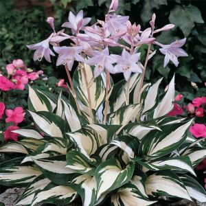 C2 FUNKIA HOSTA FIRE AND ICE