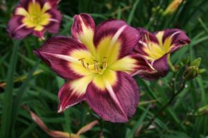 C2 LILIOWIEC Hemerocallis Night Beacon