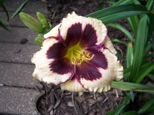 C2 LILIOWIEC Hemerocallis Celebration of Angels