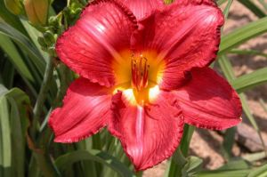 C2 LILIOWIEC Hemerocallis Charles Johnston