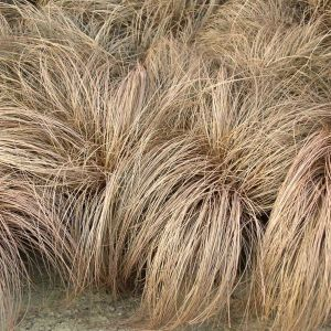P11 TURZYCA Carex comas Bronze Perfection