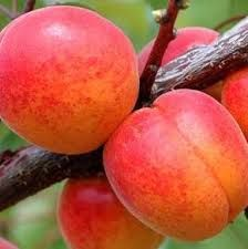 MORELA PRUNUS ARMENIACA EARLY ORANGE BALOT