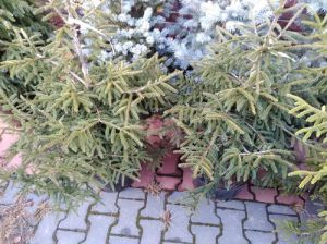 ŚWIERK GOLDEN START PICEA 100-120 CM.